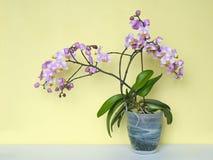 Orchidee blüht Phalaenopsistopfpflanze Stockfoto