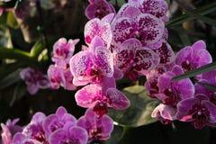 Orchidee blüht Purpur Lizenzfreies Stockfoto
