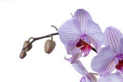 Orchidee blüht rechte Seite der Nahaufnahme Stockfotos