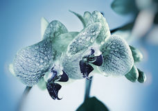 Orchidee in Blauw Stock Afbeeldingen