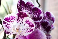 Orchidee, bloem, mooie bloei, Royalty-vrije Stock Foto