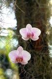 Orchidee in bloesem Royalty-vrije Stock Afbeelding