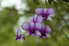 Orchidee blu Fotografie Stock Libere da Diritti