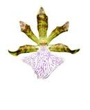 Orchidee-Blume (getrennt) stockfotos