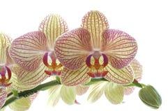 Orchidee-Blumen-Nahaufnahme Lizenzfreie Stockfotos