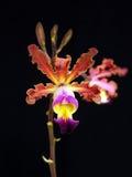 Orchidee: Brissiana van Myrmecophilia royalty-vrije stock afbeeldingen