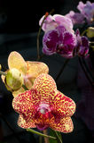 Orchidee closup Royalty-vrije Stock Afbeelding