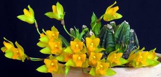 Orchidee: Cochleata van Lycaste stock foto