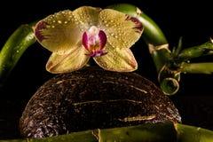 Orchidee con coccnut Fotografia Stock Libera da Diritti