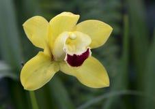 Orchidee Cymbidium Lowe Stockfotografie