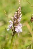 Orchidee (Dactylorhiza maculata) Lizenzfreie Stockbilder