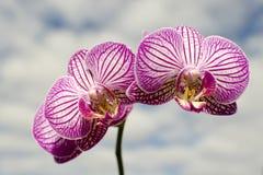 Orchidee in de wolken Royalty-vrije Stock Afbeelding