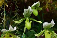 Orchidee del Cypripedium, fiori sboccianti fotografie stock
