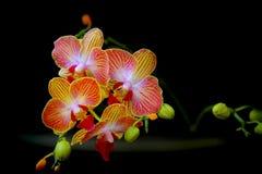 Orchidee del Dendrobium Fotografie Stock