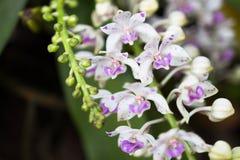 Orchidee del Wildflower, gigantea di Rhynchostylist Immagine Stock Libera da Diritti