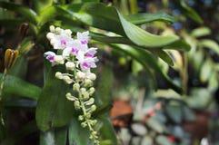 Orchidee del Wildflower, gigantea di Rhynchostylist Fotografia Stock Libera da Diritti