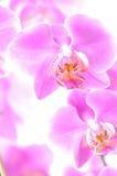 Orchidee dentellare immagini stock libere da diritti
