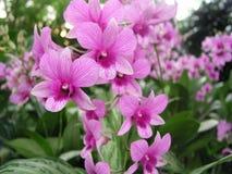 Orchidee dentellare fotografia stock libera da diritti