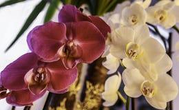 Orchidee dentellare e bianche immagine stock libera da diritti