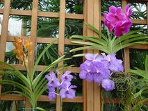 Orchidee dentellare, viola e gialle Fotografie Stock