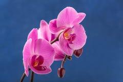 Orchidee der frischen Blume auf Farbhintergrund Stockfotografie