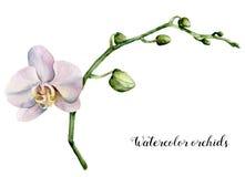 Orchidee di bianco dell'acquerello Illustrazione botanica floreale dipinta a mano isolata su fondo bianco Per progettazione o la  royalty illustrazione gratis