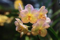 Orchidee di fioritura Fotografie Stock Libere da Diritti