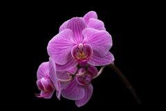 Orchidee di lepidottero Immagini Stock