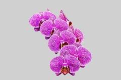 Orchidee di phalaenopsis Immagine Stock Libera da Diritti