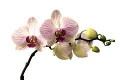 Orchidee di phalaenopsis su fondo bianco Fotografia Stock Libera da Diritti