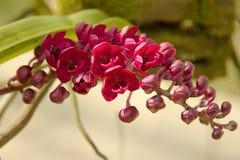 Orchidee di rosso di gigantea varietà di Rhynchostylis immagine stock