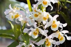 Orchidee di signatum del Dendrobium Fotografia Stock Libera da Diritti