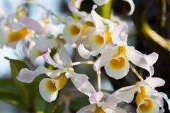 Orchidee di signatum del Dendrobium Fotografie Stock Libere da Diritti