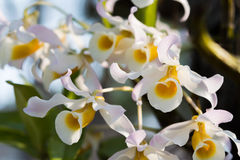 Orchidee di signatum del Dendrobium Fotografia Stock
