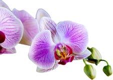 Orchidee die op wit wordt geïsoleerdo   royalty-vrije illustratie