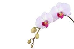 Orchidee die op witte achtergrond wordt geïsoleerd? close-up Royalty-vrije Stock Foto's