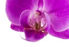 Orchidee die op witte achtergrond wordt geïsoleerd? Het overvloedige bloeien van magenta phalaenopsisorchidee De achtergrond van  Stock Afbeeldingen