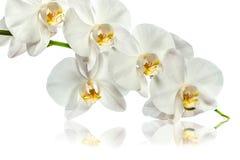 Orchidee Een tak van witte orchidee op een witte achtergrond stock afbeelding