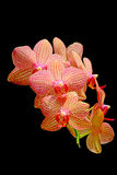 Orchidee eleganti contro fondo scuro Fotografie Stock