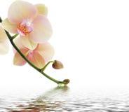 Orchidee en bezinning over witte achtergrond Stock Afbeelding