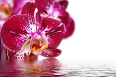 Orchidee en bezinning over witte achtergrond Stock Foto