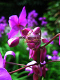 Orchidee en Rode Mier Stock Afbeelding