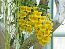 Orchidee geel in tuin Stock Afbeeldingen