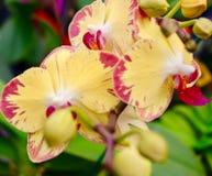 Orchidee in Gelbem und in Rotem Lizenzfreies Stockfoto