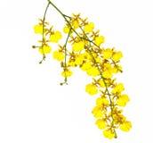 Orchidee gele Oncidium Royalty-vrije Stock Afbeeldingen