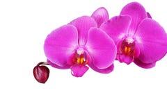 Orchidee getrennt auf weißem Hintergrund nahaufnahme Stockfoto