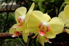 Orchidee gialle immagine stock libera da diritti