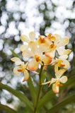 Orchidee gialle ed arancio con bokeh. Fotografia Stock Libera da Diritti