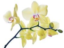 Orchidee giallo limone fini isolate sul ramo Fotografia Stock