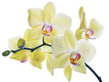 Orchidee giallo limone fini su bianco Fotografia Stock